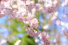 hanami in copenhagen 4 beautiful cherry blossom locations