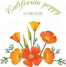 vector illustration of flower arrangement california poppy stock