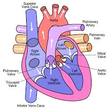 Anatomy And Physiology Glossary The Cardiovascular System Anatomy And Physiology From An