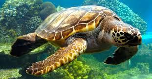 imagenes tortugas verdes habitat de la tortuga verde jpg
