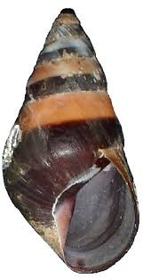 best 25 banded snail ideas on pinterest snails snail and