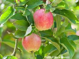 Transplant Fruit Trees - root pruning to transplant trees