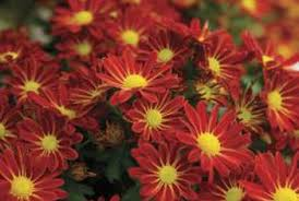 Picture Of Mums The Flowers - what is the average height u0026 width of garden mums home guides