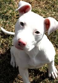 australian shepherd x pitbull the 25 best husky pitbull mix ideas on pinterest pitbull mix