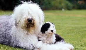 belgian sheepdog what s good about em english sheepdog dog breed information