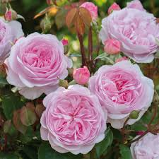 david austin roses bare root roses container roses english