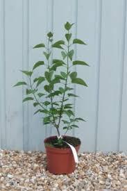 buy lilac ornamental trees shrubs lilac primrose more
