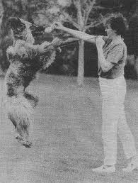 owning an afghan hound afghan hound times the afghan hound standard jennifer atkinson