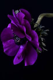 best 25 anemone flower photos ideas on pinterest anemone flower