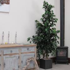 extra large ficus indoor house or office plant weeping fig