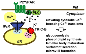essential role of the tric b channel in ca2 handling of alveolar