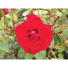 the princes trust climbing rose garden climbing roses our