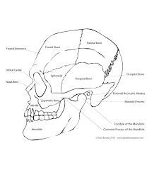 Human Anatomy Skull Bones Paint Draw Paint Learn To Draw Drawing Basics Anatomy Of The Skull
