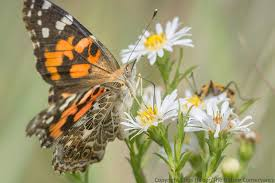 the painted butterfly this year s poster child for insect