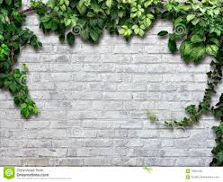 climbing plant on the white brick wall stock photo image 70091028