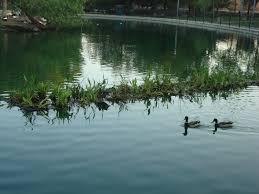 florida native aquatic plants florida floating wetlands managed aquatic plant systems