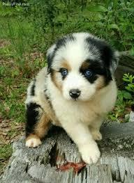 australian shepherd ebay uk ebay iron on patch agility australian shepherd aussie dog