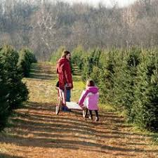 cut your own christmas tree farm in carnation season starts the