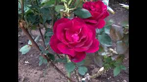 rose garden 2015 fussa city 秋留台公園 あきる野 バラ園 2015 youtube