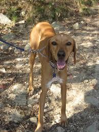 bluetick coonhound basset hound mix redbone coonhound mixes