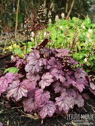 heuchera u0027sugar plum u0027 frosty plum purple leaves in spring and