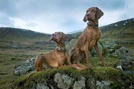 weimaraner vs afghan hound vizsla dog breed information pictures characteristics u0026 facts