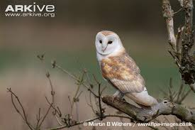 What Does A Barn Owl Look Like Barn Owl Videos Photos And Facts Tyto Alba Arkive