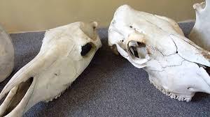 horse u0026 cow skull identification youtube