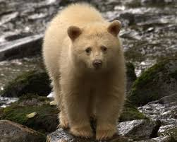 bc u0027s great bear rainforest is home to spirit bears grizzlies