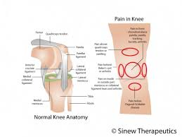 Knees Anatomy Knee Injuries Knee Pain Information Sinew Therapeutics