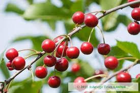 Cherry Tree Fruit - morello cherry trees buy online ashridge nurseries