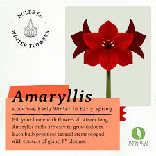 easy flowers to grow indoors fill your home with flowers all winter long amaryllis bulbs are