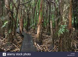 native plants in the tropical rainforest native australian wet tropics plants can be seen on this boardwalk