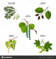 ash tree leaves aspen flowers birch buds and maple keys u2014 stock