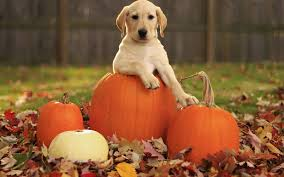 dog in a halloween pumpkin in autumn hd animals wallpapers