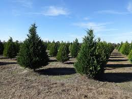 file hambrick u0027s christmas tree farm leyland cypress christmas