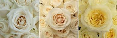 color roses color meanings from fiftyflowers fiftyflowers the