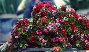 sweet william flowers sweet william flowers pixdaus