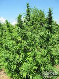 Northern Lights Outdoor Grow Best Top 10 Outdoor Marijuana Seeds