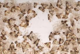 Kitchen Cabinet Bugs Pantry Moth Control And Treatments For The Home Kitchen And Pantry
