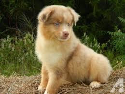 australian shepherd 10 weeks sweet asdr mini australian shepherd puppy for sale 10 weeks old