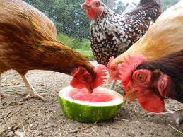 What To Feed Backyard Chickens by 43 Best Images About Backyard Chickens On Pinterest