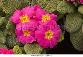 Pink Primrose Flower - primroses pink flowers stock photos u0026 primroses pink flowers stock