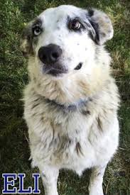 d b australian shepherds meet jeannie a petfinder adoptable australian shepherd dog fort