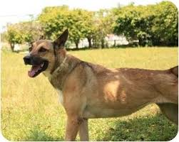 belgian shepherd labrador retriever mix alfa img showing u003e black belgian malinois lab mix