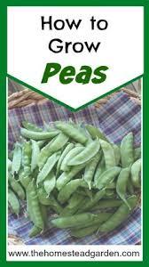 Container Gardening Peas - how to grow peas in your vegetable garden gardens vegetable