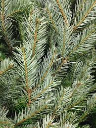christmas trees the decision u2026 rocky u0027s horticultural blog