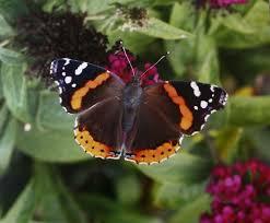 switzer butterflies signal s arrival in ohio