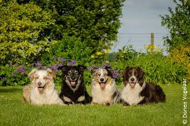 4 corners australian shepherd club breed standard asca