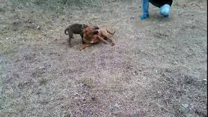 american pitbull terrier vs german shepherd killer bullterrier hund dog pit bull fight blood vidéo dailymotion